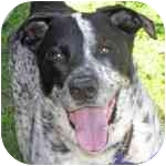 Pointer/Akita Mix Dog for adoption in Eatontown, New Jersey - Freckles