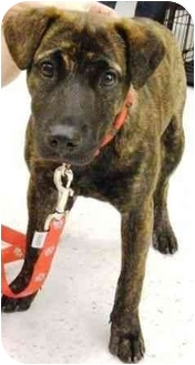 American Staffordshire Terrier Mix Puppy for adoption in Gilbert, Arizona - Lucy
