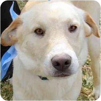 Labrador Retriever Mix Dog for adoption in Pawling, New York - OLIVER