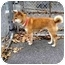 Photo 1 - Shiba Inu Dog for adoption in Washington, North Carolina - Zira