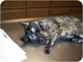 Domestic Shorthair Cat for adoption in New London, Wisconsin - Sharon