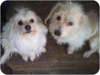 Maltese/Terrier (Unknown Type, Small) Mix Dog for adoption in Houston, Texas - MILO