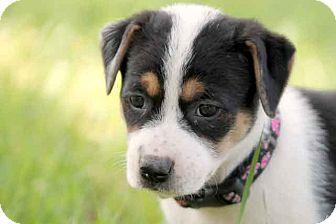 Australian Shepherd/Border Collie Mix Puppy for adoption in Austin, Texas - Rizzo