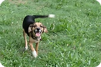 Beagle/Spaniel (Unknown Type) Mix Dog for adoption in Bedford, Virginia - Ginger
