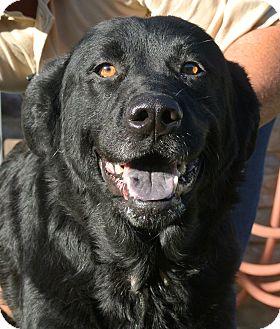 Labrador Retriever Mix Dog for adoption in white settlment, Texas - Jackie