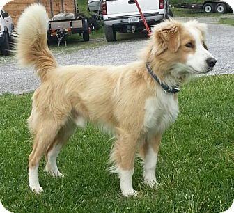 Australian Shepherd/Border Collie Mix Dog for adoption in Allentown, Pennsylvania - Cody