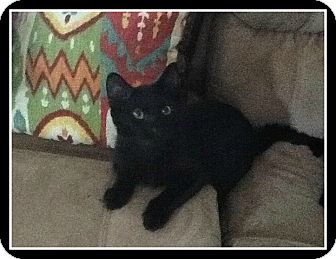 Domestic Shorthair Kitten for adoption in Hamburg, New York - Bear
