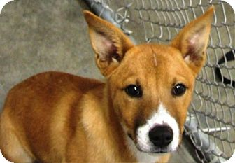 Terrier (Unknown Type, Small) Mix Puppy for adoption in Kalamazoo, Michigan - Audrey