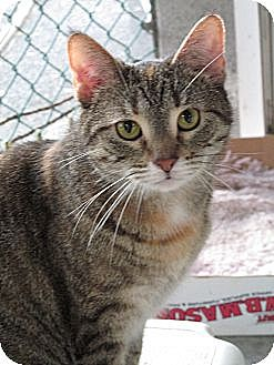 American Shorthair Cat for adoption in Plattekill, New York - Molly