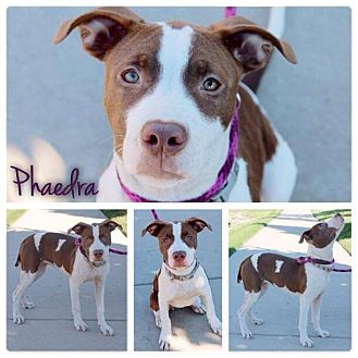 American Pit Bull Terrier Mix Puppy for adoption in Garden City, Michigan - Phaedra