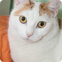 Adopt A Pet :: Mommy Marmalade - New York, NY