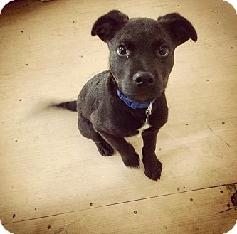 Labrador Retriever/American Pit Bull Terrier Mix Puppy for adoption in Lake Orion, Michigan - Oliver