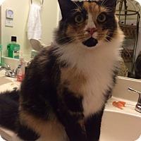 Adopt A Pet :: Miss. Whiskers - Monroe, GA