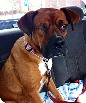 Boxer Dog for adoption in Brentwood, Tennessee - Quasar