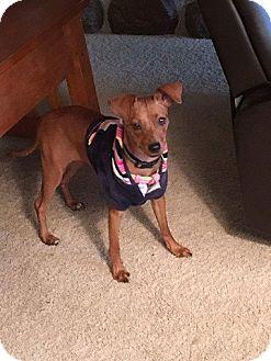 Miniature Pinscher Mix Dog for adoption in Rochester, Minnesota - LuLu