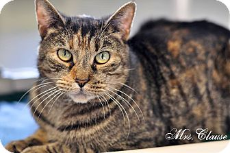 Domestic Shorthair Cat for adoption in Manahawkin, New Jersey - MRS. CLAUSE