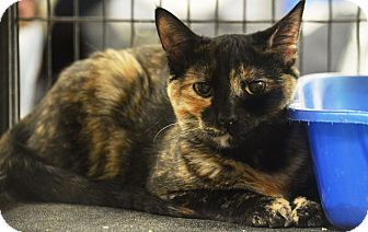 Domestic Shorthair Cat for adoption in Rockford, Illinois - Tori