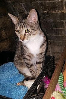 Domestic Shorthair Kitten for adoption in Fort Lauderdale, Florida - Lyla