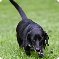 Adopt A Pet :: Weenie - Mechanicsburg, PA