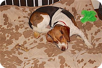 Beagle Dog for adoption in Houston, Texas - Mitsy aka Sally Ann