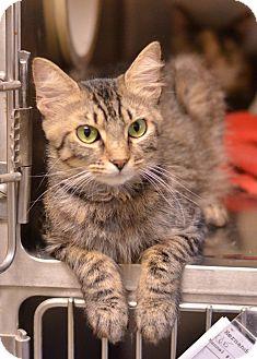 Domestic Mediumhair Cat for adoption in Brooksville, Florida - 10311641