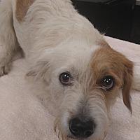 Adopt A Pet :: Ty in Houston, TX - Houston, TX
