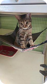 Domestic Shorthair Cat for adoption in Lunenburg, Vermont - Bonnie