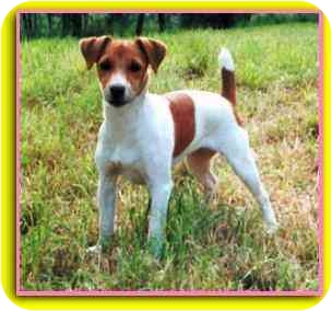 Jack Russell Terrier Dog for adoption in Secaucus, New Jersey - Peachy