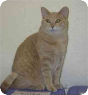 Domestic Shorthair Cat for adoption in San Diego/North County, California - Claire