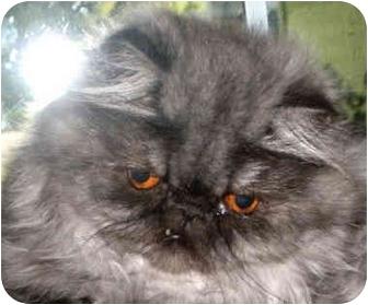 Persian Cat for adoption in Davis, California - Smooshy