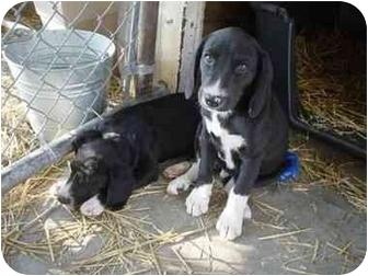 Hound (Unknown Type)/Labrador Retriever Mix Puppy for adoption in Stockton, Missouri - Butch Cassidy