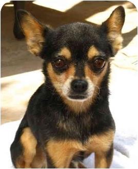 Chihuahua/Miniature Pinscher Mix Dog for adoption in Irvine, California - Romi