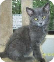 Domestic Shorthair Kitten for adoption in Appleton, Wisconsin - Ashton