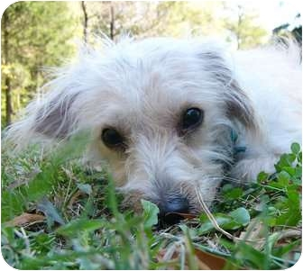 Maltese/Poodle (Miniature) Mix Dog for adoption in Mocksville, North Carolina - Merlin
