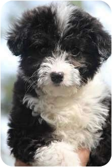 Miniature Poodle/Terrier (Unknown Type, Small) Mix Puppy for adoption in Yuba City, California - Ruffles