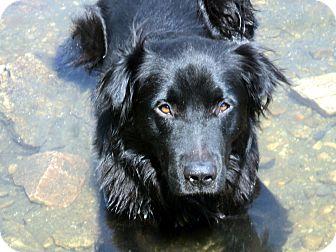 Golden Retriever/Labrador Retriever Mix Dog for adoption in Denver, Colorado - Morrison
