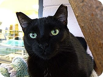 Domestic Shorthair Cat for adoption in Grayslake, Illinois - Bugsy