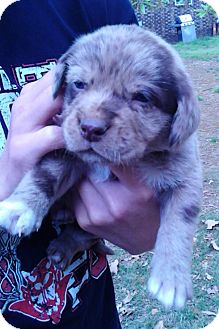 Labrador Retriever/Australian Shepherd Mix Puppy for adoption in Somers, Connecticut - Moon
