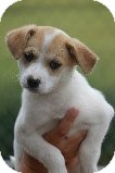 Chihuahua/Jack Russell Terrier Mix Puppy for adoption in Russellville, Kentucky - Sydnee
