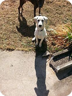 Labrador Retriever Mix Dog for adoption in Laingsburg, Michigan - Snowflake