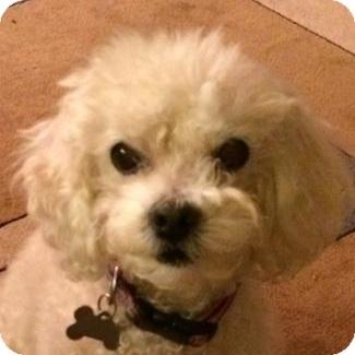 Bichon Frise Mix Dog for adoption in La Costa, California - Tessa