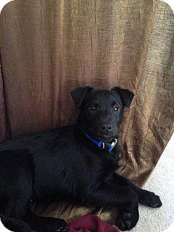 Labrador Retriever Mix Puppy for adoption in Largo, Florida - Jack