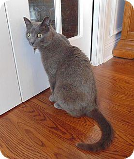 Russian Blue Cat for adoption in Huntsville, Alabama - Boris