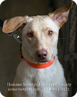 Labrador Retriever/Shepherd (Unknown Type) Mix Dog for adoption in Somerset, Pennsylvania - Fate