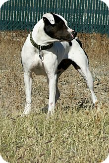 American Pit Bull Terrier Mix Dog for adoption in Buena Vista, Colorado - Patches