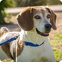 Adopt A Pet :: Pacino - Phoenix, AZ