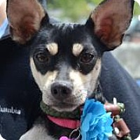 Adopt A Pet :: Leyla - Rockaway, NJ