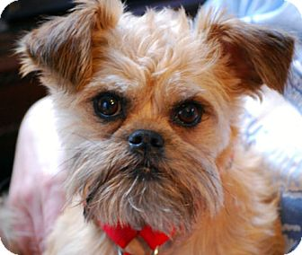 Brussels Griffon Dog for adoption in New Canaan, Connecticut - VERN: Adopted
