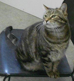 Domestic Shorthair Cat for adoption in Huntsville, Alabama - Penelope