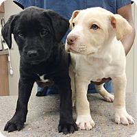 Adopt A Pet :: Jerry - Cumming, GA